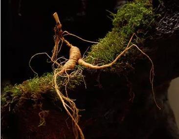 野山参的生长环境
